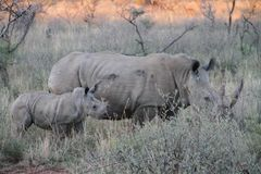 Rhino, Endangered, Family Stock Photos