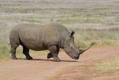 Rhino  eratotherium simum. Rhino white in African plains Stock Photos