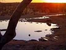 Rhino. In the Etosha National Park, Namibia Royalty Free Stock Photo