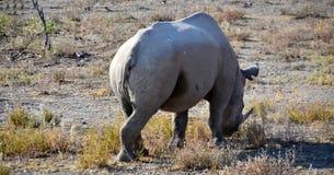Rhino in Etosha National Park. Etosha National Park is a national park in northwestern Namibia Stock Photo