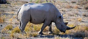 Rhino in Etosha National Park. Etosha National Park is a national park in northwestern Namibia Royalty Free Stock Images