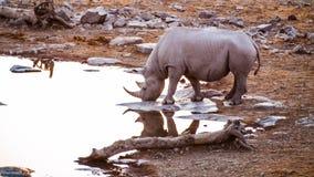 Rhino. In the Etosha National Park at sunset, Namibia Stock Photos