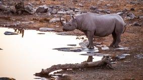 Rhino. In the Etosha National Park at sunset, Namibia Royalty Free Stock Images
