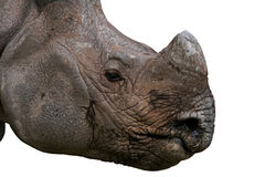 Rhino Face. Indian One Horned Rhino face isolated on white background Royalty Free Stock Photos