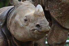 Rhino Face Royalty Free Stock Photo