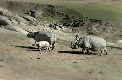 Rhino family royalty free stock image