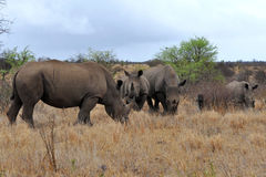 Rhino family with 2 calves,Kruger NP,South Africa Royalty Free Stock Photography