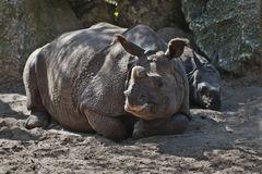 Rhino family. Mother and baby rhinoceros lying on the sand stock photography