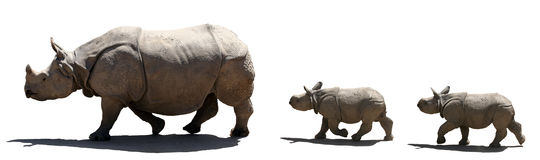 Rhino family isolated. Mother and babies rhino