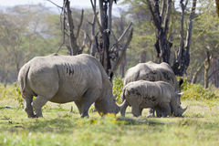 Rhino Family in Kenya Royalty Free Stock Image