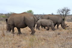 Rhino family in Kruger national park. Photo taken in middle part of Kruger national park in South Africa royalty free stock images