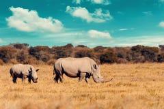 Baby of white rhinoceros Botswana, Africa. Rhino family, mother with baby of white rhinoceros Khama Rhino Sanctuary reservation, Botswana safari wildlife, Wild stock image