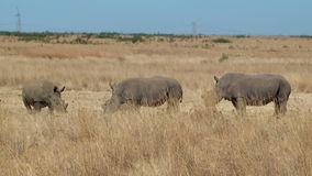 Rhino family poaching horn South Africa stock footage