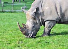 Rhino feeding Stock Photography