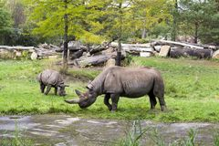 A rhino female and her little baby are grazing surrounded by grass and trees. Rhinocerotidae. stock photo