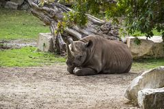The rhino female lies resting surrounded by grass and trees. stock photo