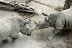 Rhino fighting Royalty Free Stock Images