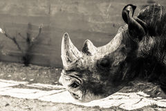 Rhino. Fine example of a rhinoceros in the version in black and white stock image
