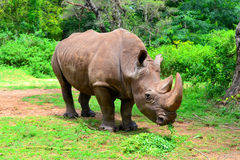 Rhino In The Forest Royalty Free Stock Image