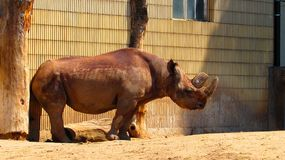 Rhino at the Frankfurt Zoo royalty free stock image