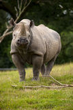 Rhino front Royalty Free Stock Photo