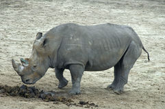 Rhino. Garzing and walking in nature area stock images