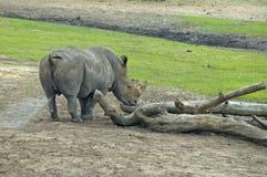 Rhino. Garzing and walking in nature area stock image