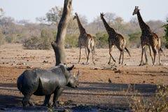 Rhino and giraffe Royalty Free Stock Photo