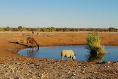 Rhino and giraffe drinking Stock Images