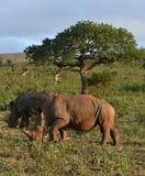 Rhino and Giraffe Royalty Free Stock Photography