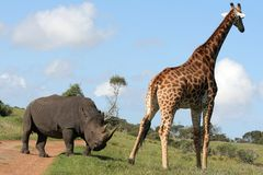 Rhino and Giraffe interaction Royalty Free Stock Image
