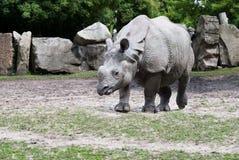 Rhino goes Royalty Free Stock Photos