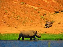 Rhino. Going through the lake of the San Diego Zoo Safari Park stock photography