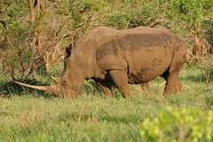 Rhino grazing Stock Image