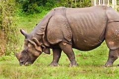 Rhino grazing stock photography