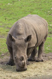 Rhino grazing Royalty Free Stock Images