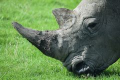 Rhino Grazing. Close up of a rhino grazing the grass royalty free stock images