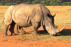 Rhino grazing in dry field. Two rhinos grazing in late afternoon in dry field. Baby rhino is hiding behind his mother stock photo