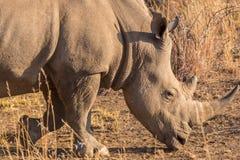 A rhino grazing Stock Image