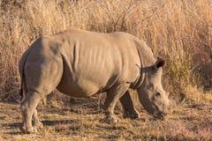 A rhino grazing Stock Photo