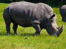 Rhino Grazing on Grass. A rhino grazes on green grass Royalty Free Stock Image