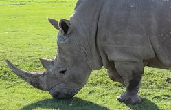 A rhino grazing on green grass royalty free stock images