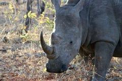 Rhino grazing Stock Image