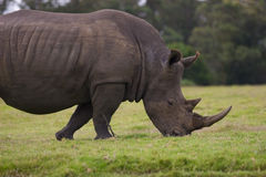A rhino grazing undisturbed Royalty Free Stock Image
