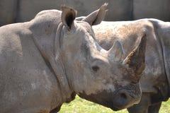 Rhino says hello. Rhino greeting visitors at Wildlands Emmen royalty free stock photos