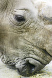 Rhino Head. A rhino eating some straw Royalty Free Stock Photography