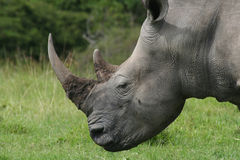 Rhino Head. A close up of a Rhino's Head Stock Photos