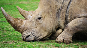 Rhino head Royalty Free Stock Photos