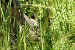 Rhino Head Closeup. A close up of a rhinoceros head hiding among long grass in the Ziwa Rhino Sanctuary in Uganda royalty free stock photo