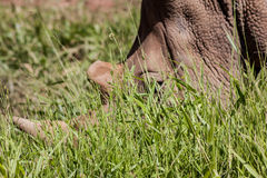 Rhino Head. A Rhino with its two horns, one long the other small in the middle of the grass Royalty Free Stock Photos